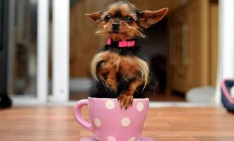 Йоркширський тер`єр на прізвисько пейган, можливо, найменша собачка в великобританії