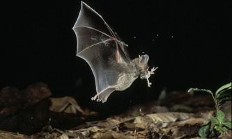 Як кажани відрізняють їстівних жаб від отруйних