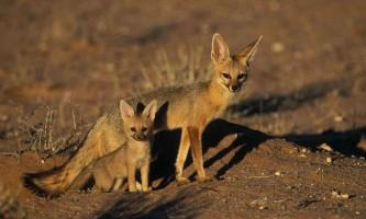 Південноафриканська (срібляста) лисиця