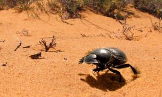 Південноафриканські гнойовики пересуваються галопом