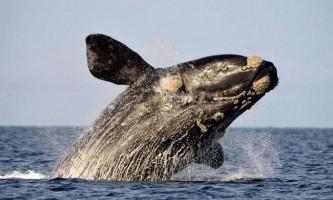 Південний гладкий кит: фото, відео морського ссавця