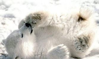 До 2025 року в росії повністю вимруть білі ведмеді