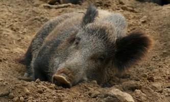 Кабан - дика свиня