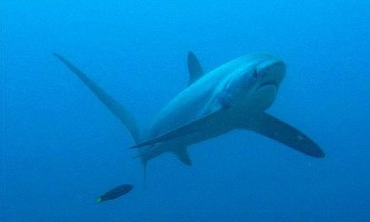 Як акули доглядають за своєю шкірою