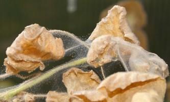 Як боротися з червоним павутинним кліщем на кімнатних рослинах