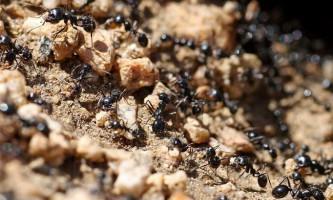 Як боротися з садовими мурахами: слушні поради