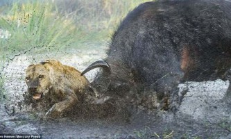 Як буйвол дав відсіч двом левам