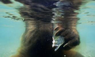 Як бурий ведмідь полює на лосося