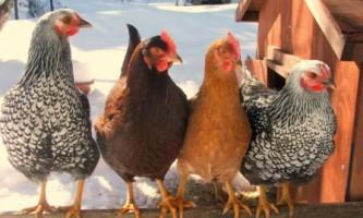 Як швидко ощипать курку без клопоту