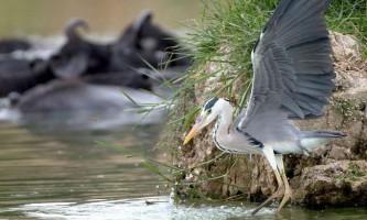 Як чапля і змія займалися перетягуванням риби. Фото.