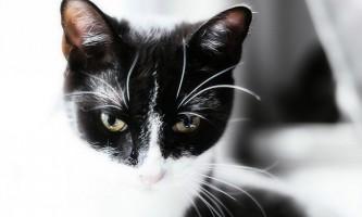 Як чистити вуха кошеняті