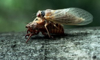 Як цикади управляють чисельністю птахів