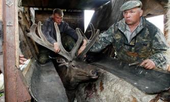 Як видобувають роги маралів