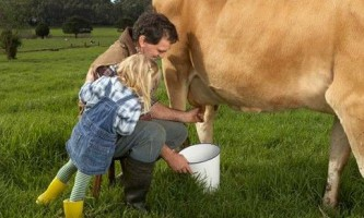 Як доїти корову?