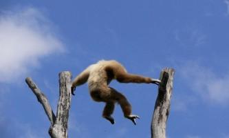 Як гібонам вдається так далеко стрибати