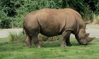 Як ходить носоріг?