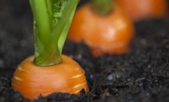 Як зберігати моркву, головні правила збереження морквини