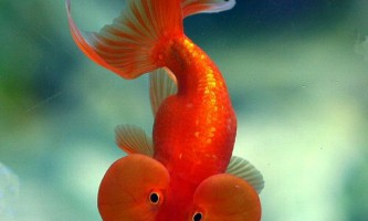 Як і чим годувати золоту рибку?