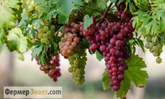 Як і коли правильно обрізати виноград