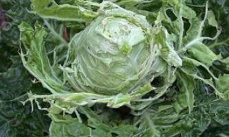 Як позбутися від шкідників капусти