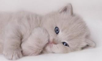 Як виміряти температуру кошеняті?