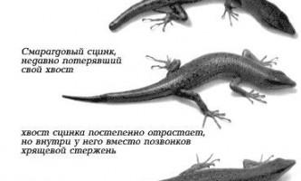 Як ящірка відкидає хвіст