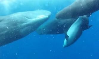 Як кашалоти подружилися з дельфіном-інвалідом