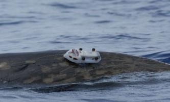 Як кити ховаються від морських хижаків