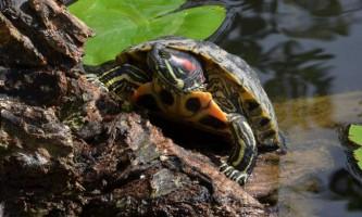 Як годують червоновухих черепах?