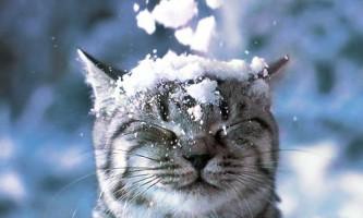 Як кішки переносять холод?