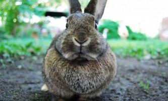 В сибіру знайшли останки предка кроликів, що жив 14 мільйонів років тому