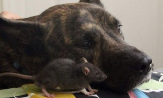 Як щур і вівчарка подружилися в притулку для тварин