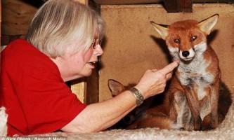 Сама `` розпещена `` лисиця оселилася в родині англійця