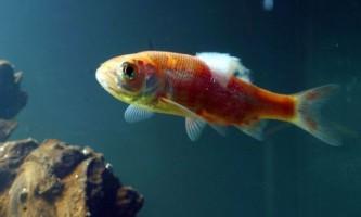 Як лікувати сапролегніоз у акваріумних рибок