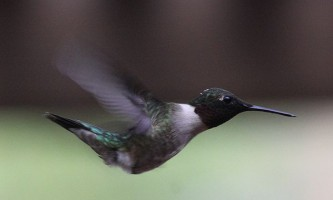 Як літають колібрі