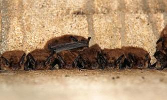 Як кажани відрізняють велика від маленького?