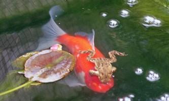 Як жаба каталася на золоту рибку