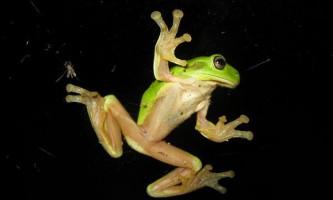 Як жаби-древолази підтримують ліпучесть своїх лап