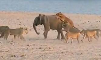 Як молодий слон здолав 14 голодних левів