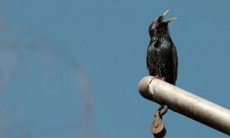 Як ми слухаємо спів птахів