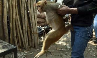 Як карають мавп-злочинниць в індії