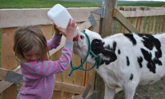 Як потрібно годувати корову?