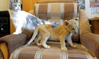 Як чарівний кошеня лігри подружився з мамою-кішкою