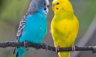 Як визначити, якої статі ваш птах?