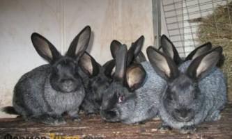 Кращі породи кролів м`ясного напряму