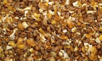 Як організувати раціональне годування курей несучок в домашніх умовах