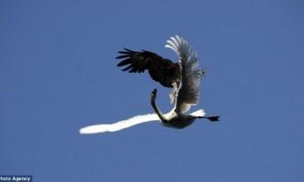 Як орлан-білохвіст атакує лебедя