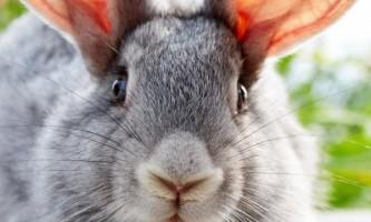 Як відрізнити кролика від зайця