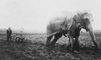 Як пахали на слонах
