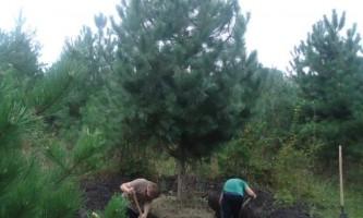 Як пересадити дерево?